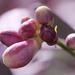 Lemon or lime blossom