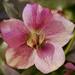 Pink Hellebore Bloom