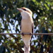 Kookaburra sits on the electric wire....