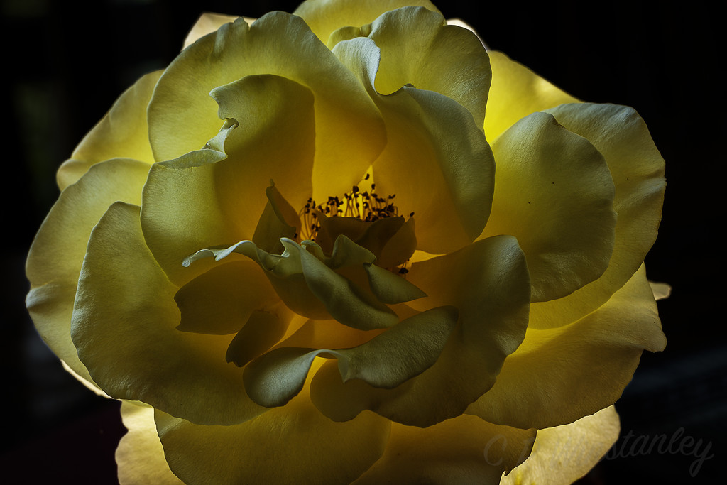 Back lit Rose by kipper1951