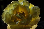 24th Mar 2019 - Back lit Rose
