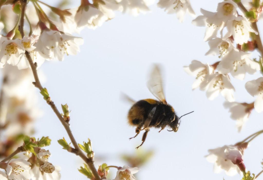 Bee in Blossom by shepherdmanswife