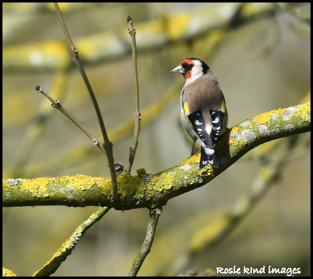 Goldfinch down the brook by rosiekind