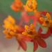 Milkweed - orange