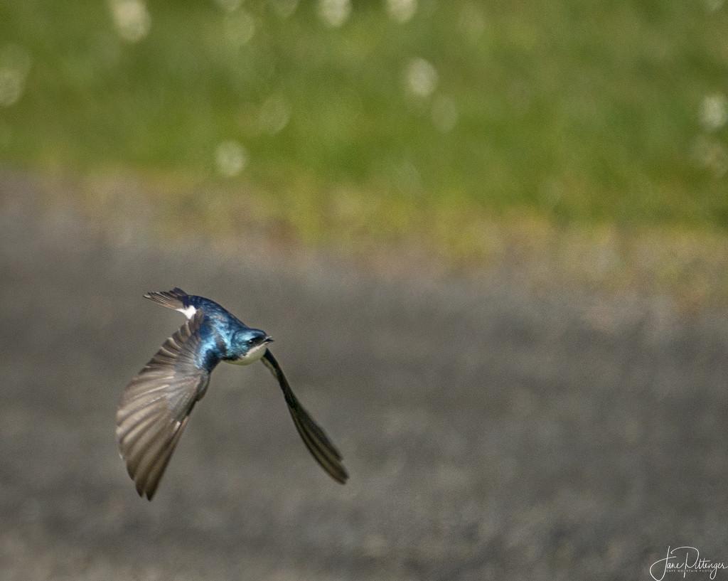 Tree Swallow In Flight by jgpittenger