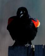 26th Mar 2019 - red-winged blackburd sings closeup