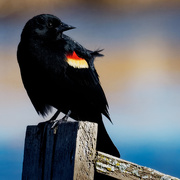 26th Mar 2019 - red-winged blackbird on a birdhouse