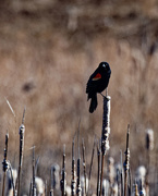 26th Mar 2019 - red-winged blackbird and cattails