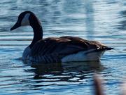 26th Mar 2019 - Canada goose