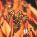 photinia flames