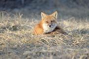26th Mar 2019 - Foxy lady!