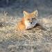 Foxy lady! by fayefaye