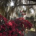 Azaleas and Spanish moss by congaree