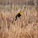 Yellow headed black bird by lindasees