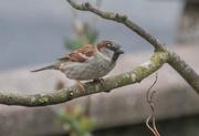 27th Mar 2019 - House Sparrow