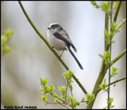 27th Mar 2019 - Long tailed tit