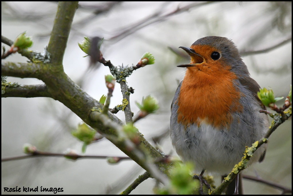 Another singing robin by rosiekind