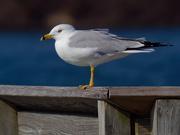 27th Mar 2019 - ring-billed gull