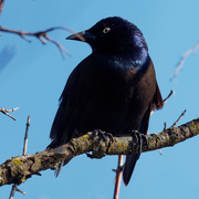27th Mar 2019 - common grackle