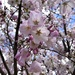 Lots of cherry blossoms by homeschoolmom