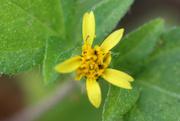 27th Mar 2019 - Tiny yellow flower