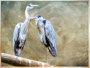 28th Mar 2019 - Herons with a texture