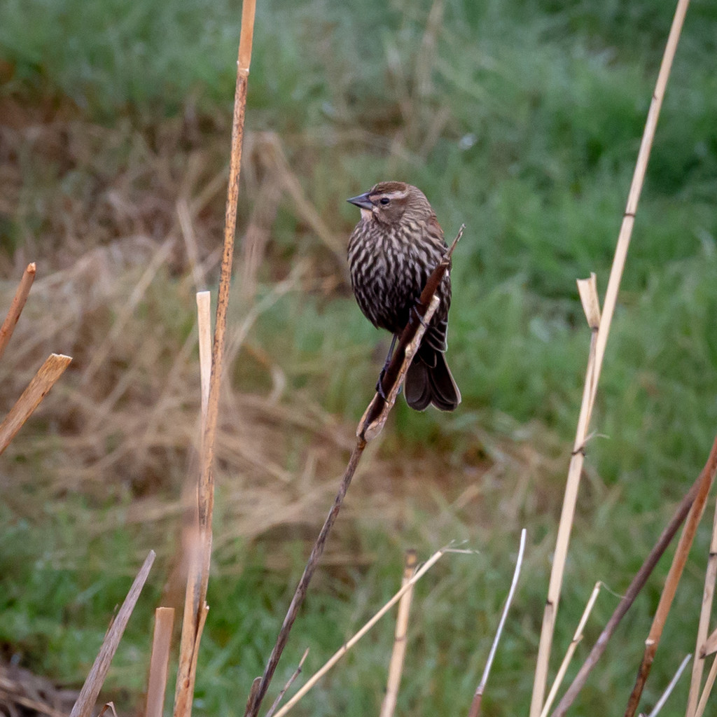 Female Red-winged Blackbird by lindasees