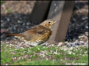 28th Mar 2019 - Beautiful song thrush
