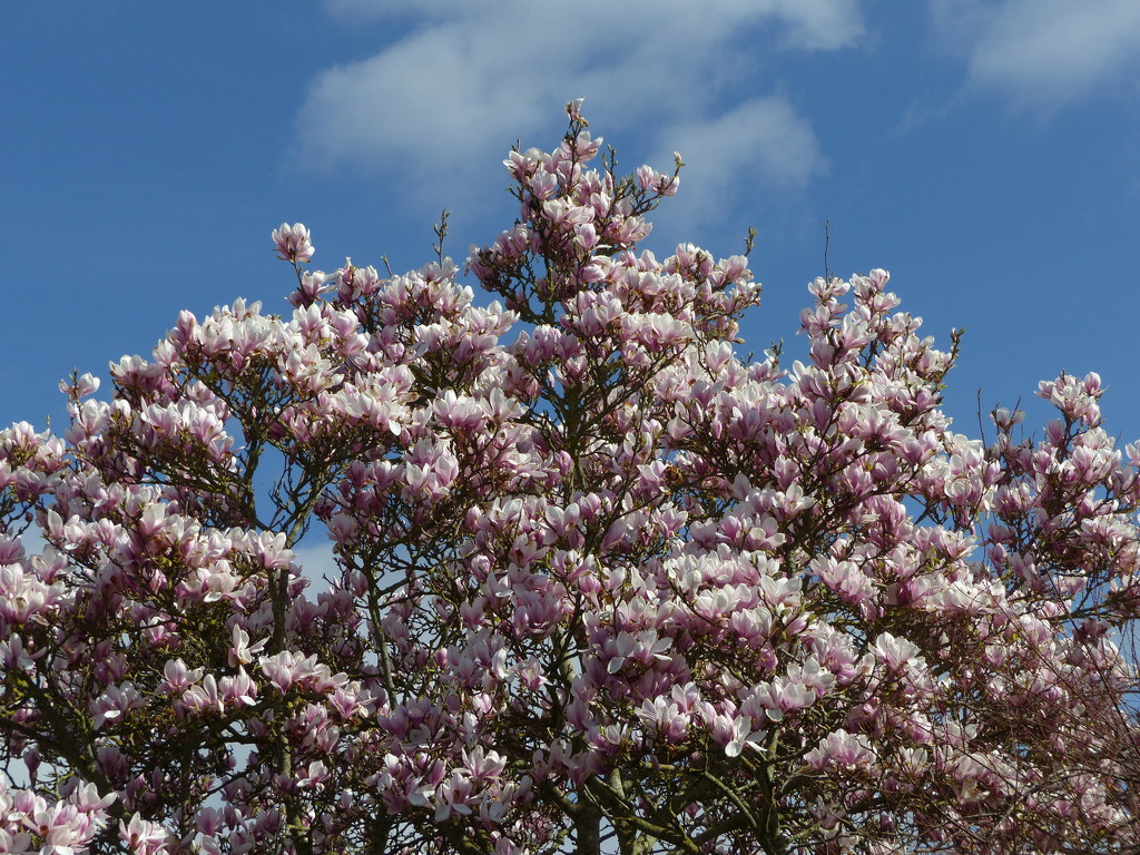 Magnolia and Blue Sky by susiemc