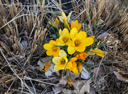 28th Mar 2019 - Yellow Crocus
