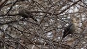 28th Mar 2019 - female brown-headed cowbirds