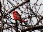 28th Mar 2019 - nortern cardinal