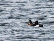 28th Mar 2019 - ring-necked ducks