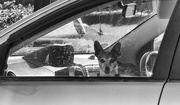 4th Mar 2019 - dogs in cars