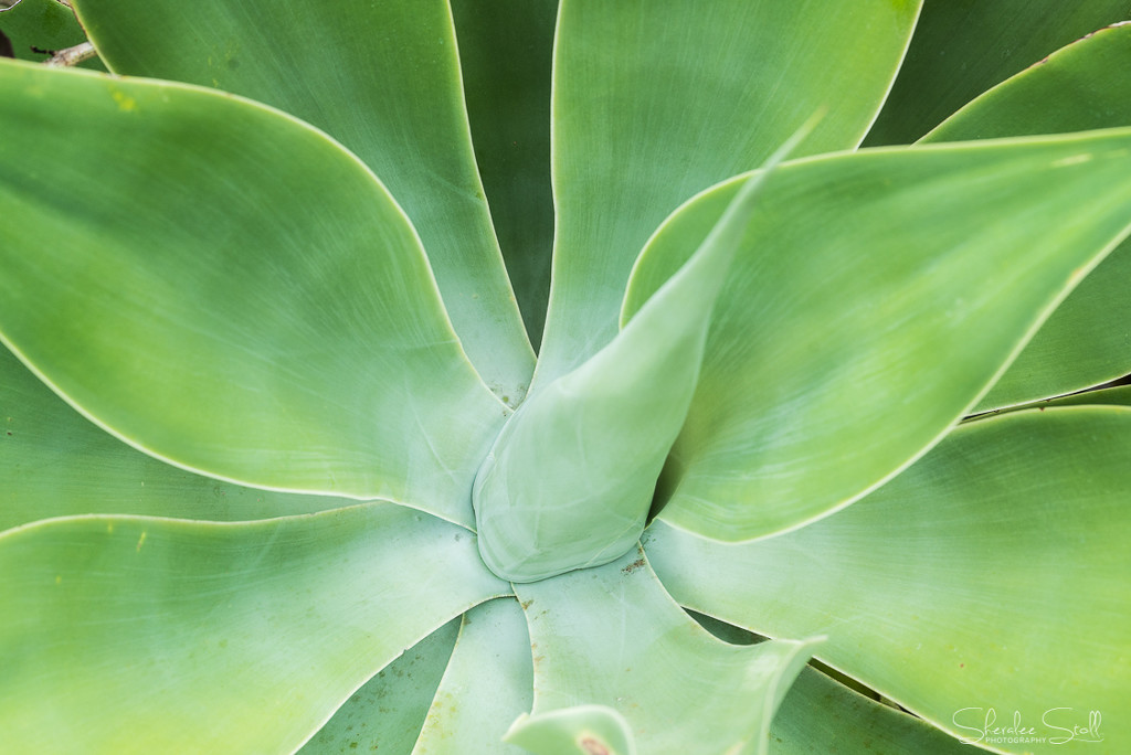 Green Agave by bella_ss