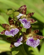29th Mar 2019 - Zygopetalum Crinitum..._DSC8659