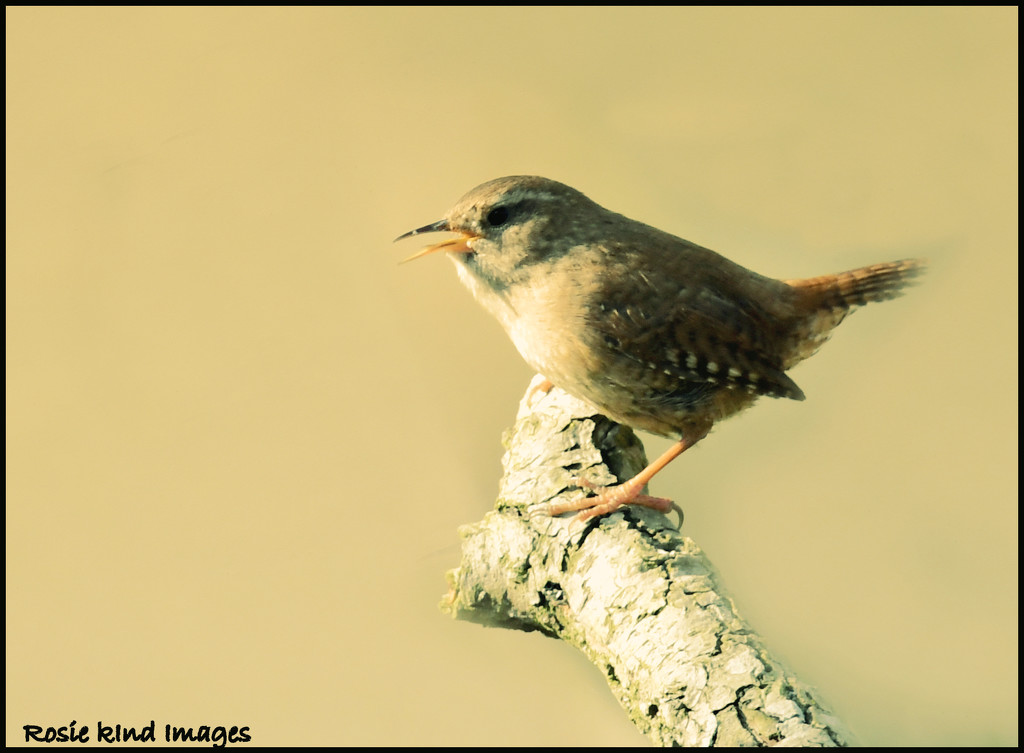Singing wren  by rosiekind