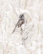 29th Mar 2019 - song sparrow