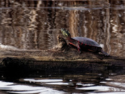 29th Mar 2019 - First painted turtle of spring