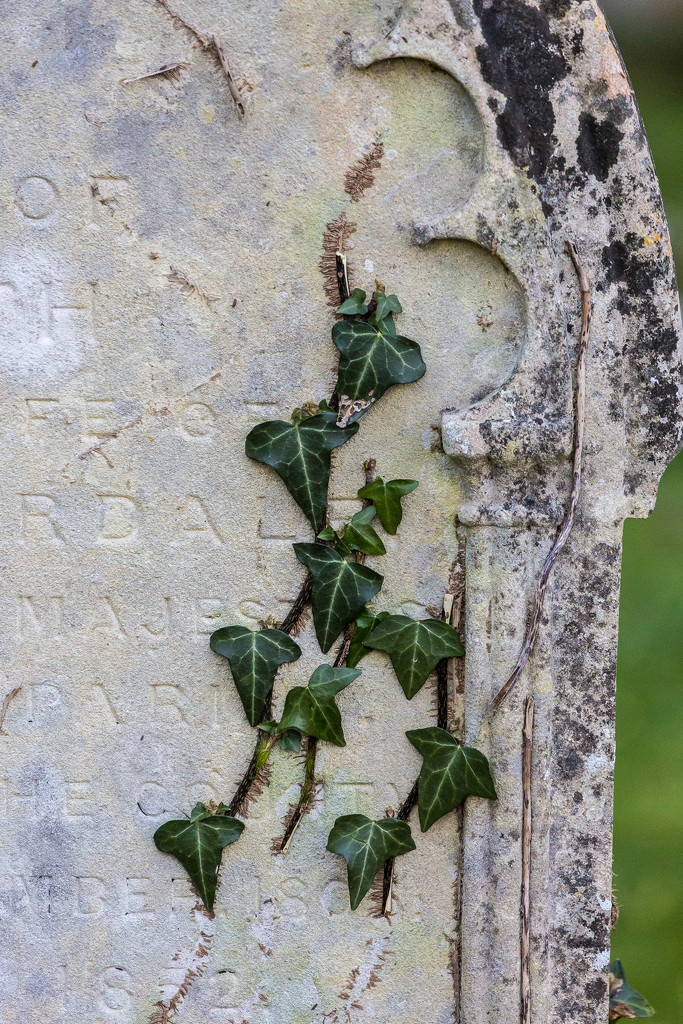 Ivy, Osmington Churchyard by dorsethelen