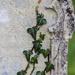 Ivy, Osmington Churchyard