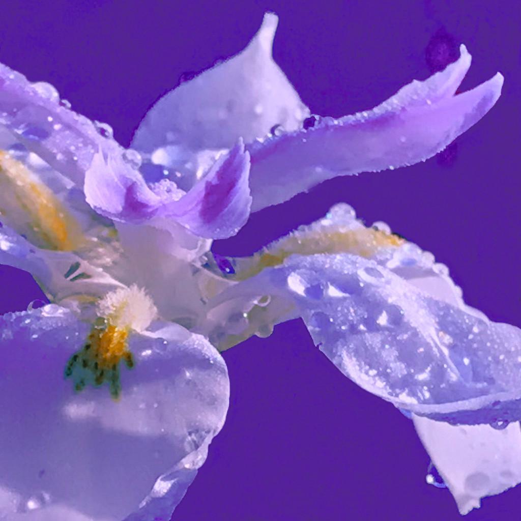 Last Purple Day by sugarmuser