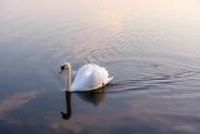 29th Mar 2019 - Swan