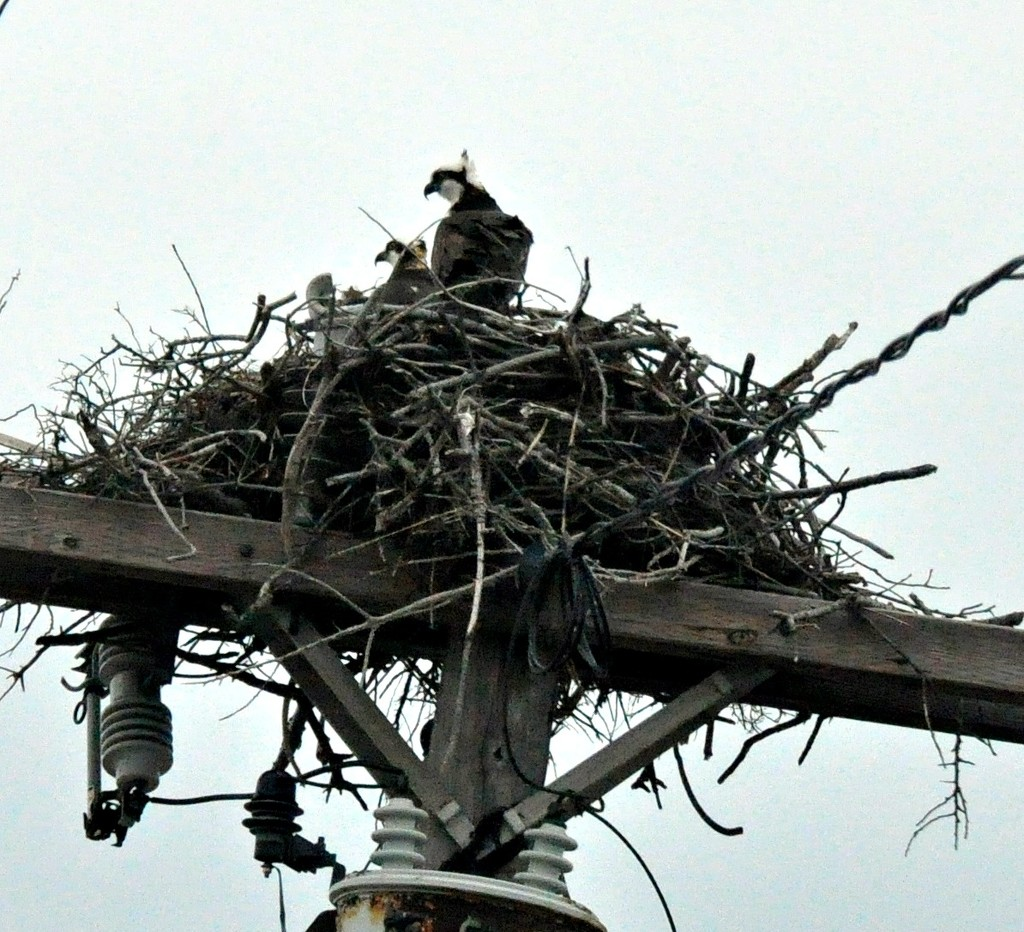 Osprey are back !!! by sailingmusic