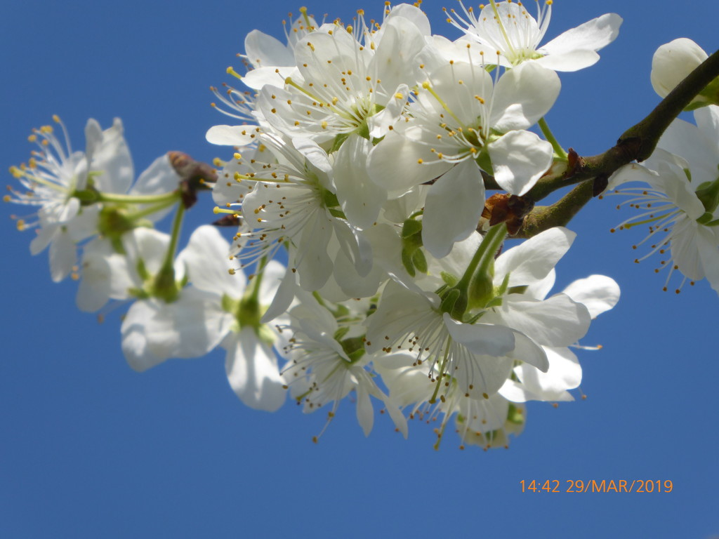 Plum-blossom.. by snowy
