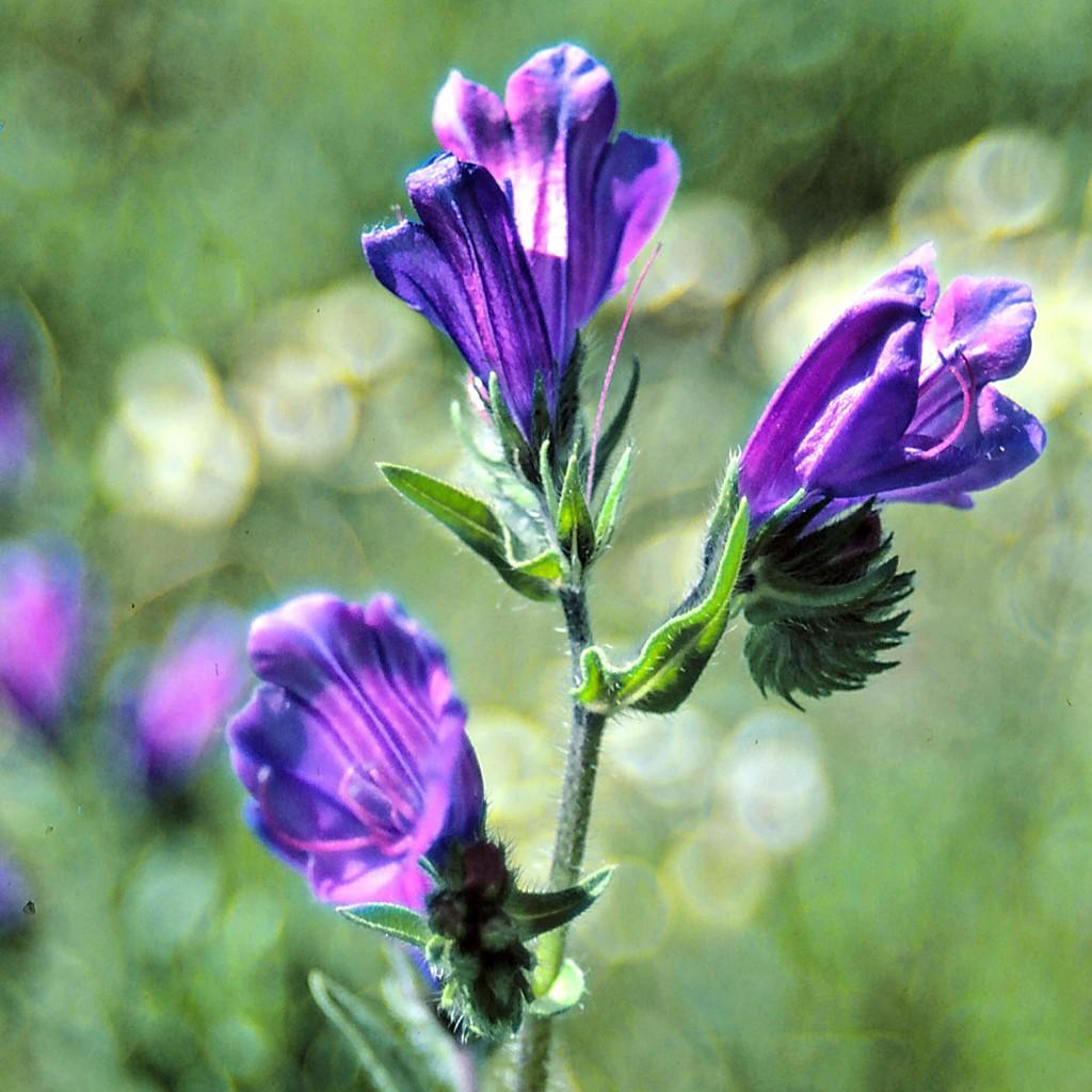 Rainbow Month Day 30 - Paterson's curse (Echium plantagineum) by judithdeacon
