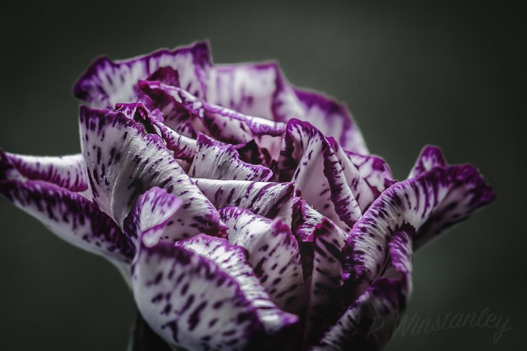 Furled Carnation  by kipper1951