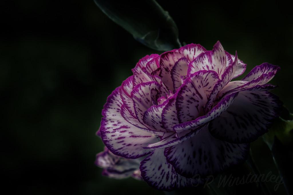 Unfurled Carnation by kipper1951