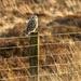 Short Eared Owl by pamknowler