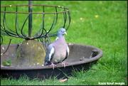 30th Mar 2019 - Wood pigeon